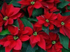 Le piante Stelle di Natale