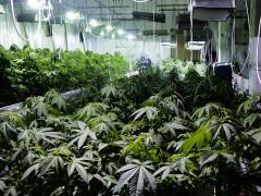 Piantagione di marijuana sequestrata nel Fermano dalla GDF
