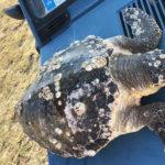 Tartaruga spiaggiata sulla costa fermana